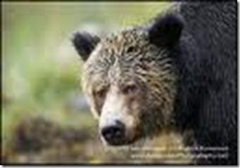 bear with an attitude