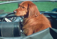 TDP_traveling_with_a_dog_retriever_in_car_0309_01